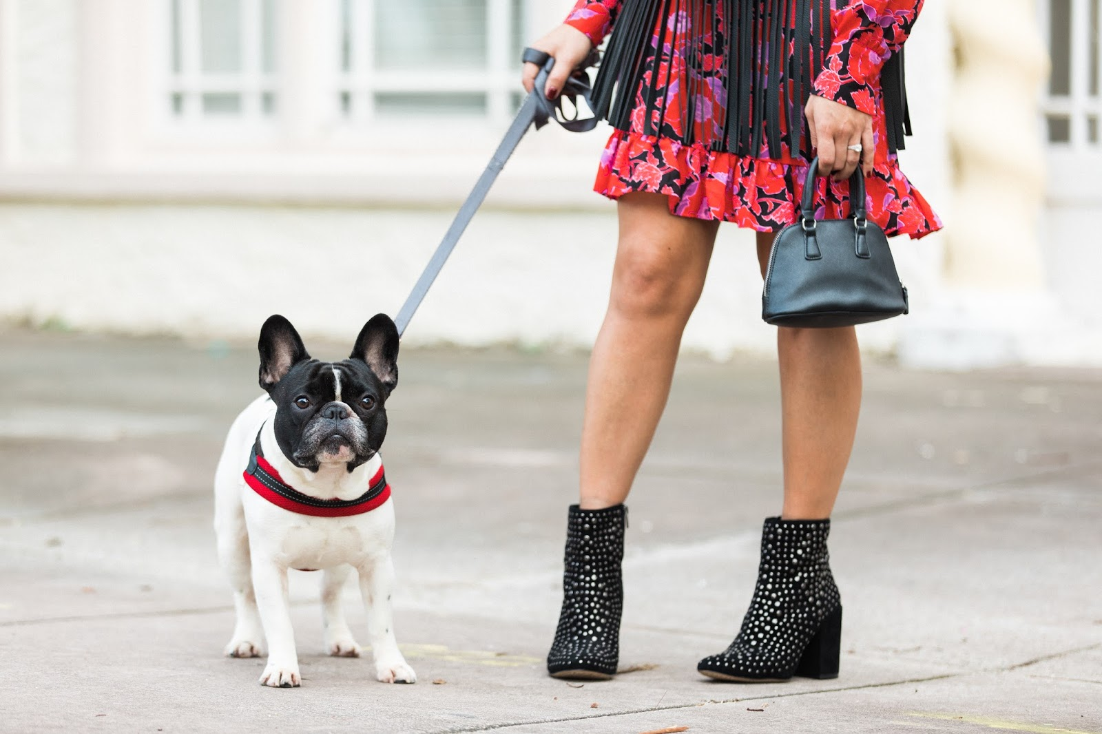 Cute french bulldog Alfie stands tall with my favorite Vince Camuto booties