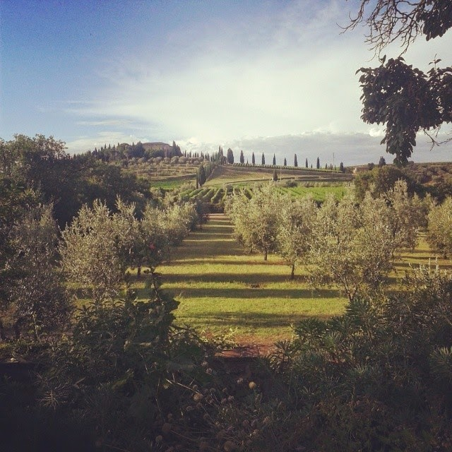Olive grove with a view towards villa Argiano