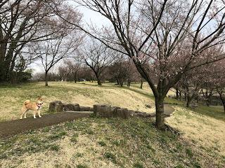 咲き始めているエドヒガンの群生と柴犬ゆき富山