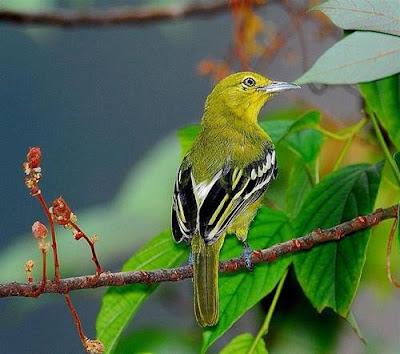 burung cipoh kacat