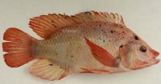jenis ikan air tawar dan nama latinnya