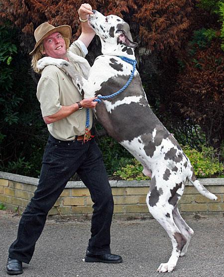 Gran Danes que parece vaca