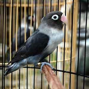 Harga Burung Lovebird Batman