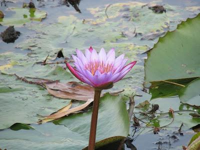 Lake of Lotus