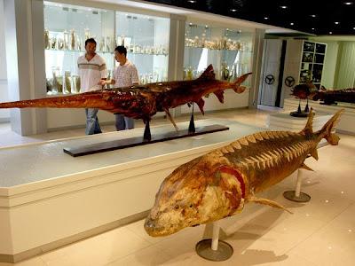 chinese paddlefish situslakalaka 9 Monster Sungai Yang Masih Ada Hingga Saat Ini