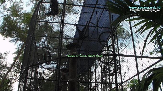 Siamang Hitam di Taman Rimba Jambi Sumatera