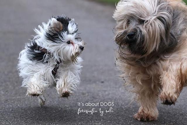 """Hundeblog: """"Im Regen tanzen"""" Biewer Yorkshire Terrier Lotta und Tibet Terrier Chiru"""