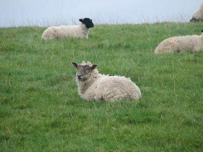 Sheep-Image-UK