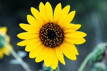http://manfaatnyasehat.blogspot.com/2014/09/manfaat-bunga-matahari-untuk-kesehatan.html