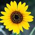 Berbagai Manfaat Bunga Matahari untuk Kesehatan Keluarga Anda