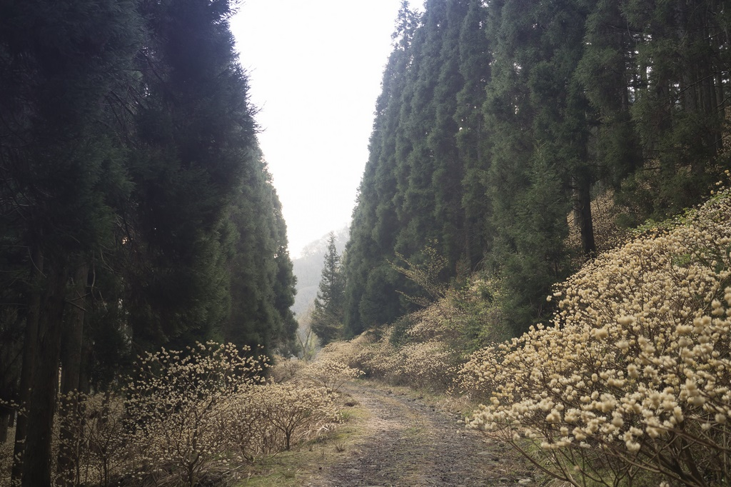 Bosque en Japón con arbustos en flor de Edgeworthia chrysantha