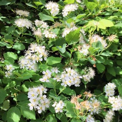 Idänvirpiangervon kukat on läheltä kauniit pienet ja valkoiset