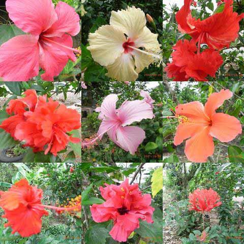 Tema : Tumbuh-tumbuhan ( Bunga ): Jenis-jenis bunga