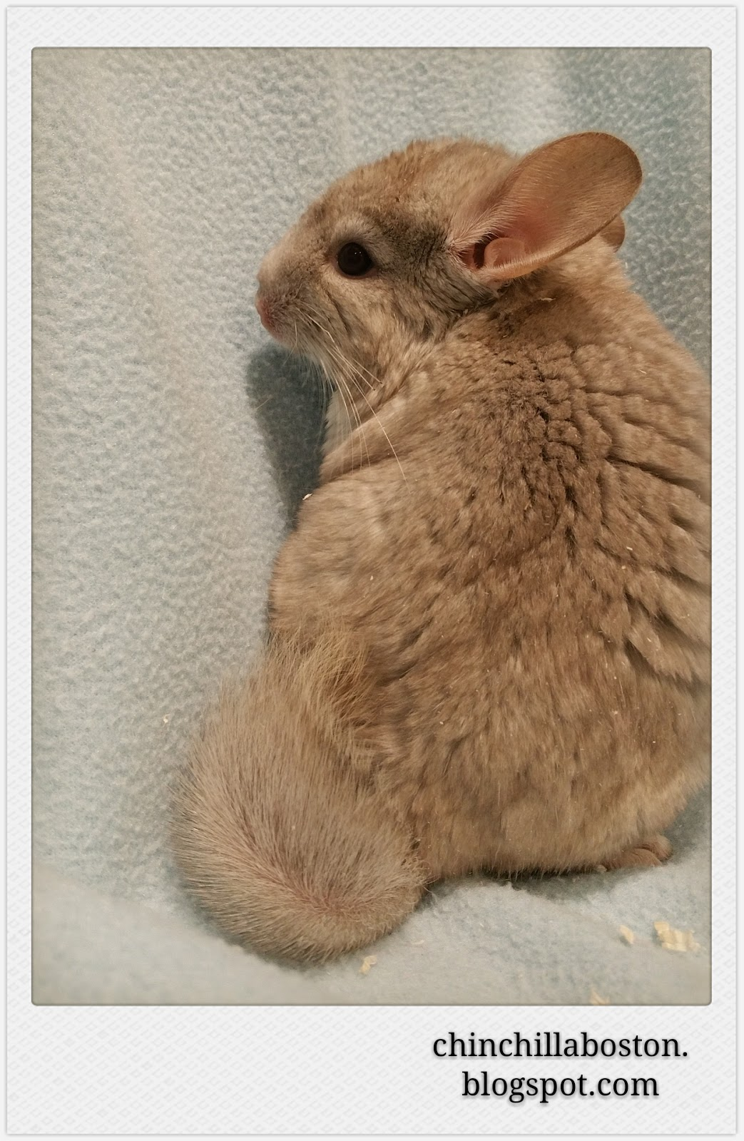 Chinchilla Boston: Adopted (Mooncake)