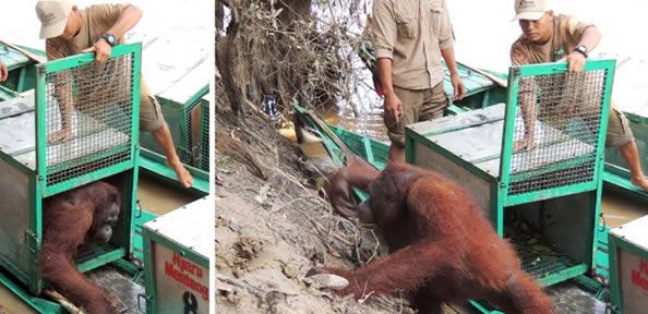 Orangotango fêmea, que era abusada sexualmente, em casa de prostituição, sendo levada a lar natural