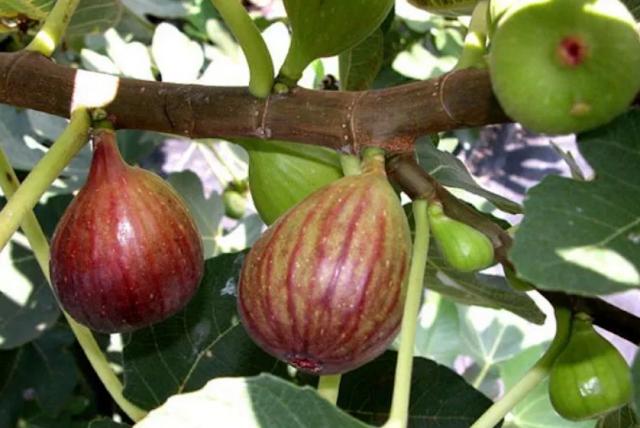 Buah Tin (Ficus carica L)