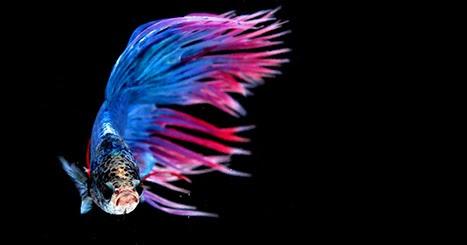 Ikan Hias Kecil Bergerombol