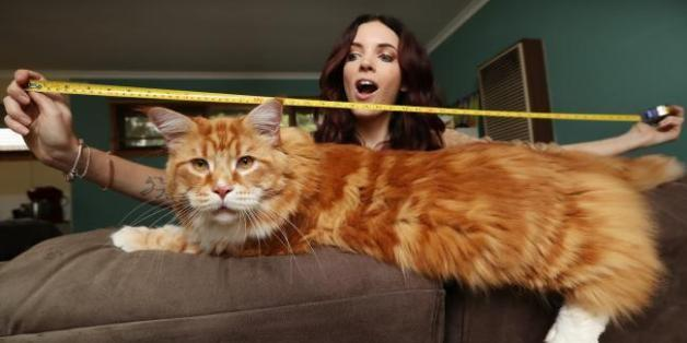 صور وفيديو: القط الأضخم في العالم.. طوله 120 سم .. صاحبته تتلقى اتصالا من موسوعة غينس