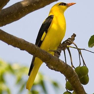 Foto Kepodang Jantan Ciri Jenis Kelamin Burung Kicau