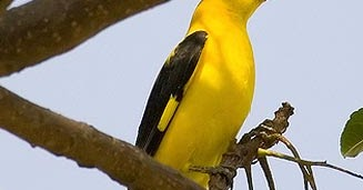 Ciri Kepodang Jantan Dan Betina Tips Cara Membedakan Kicauan Burung Kepodang Foto Burung Kicau