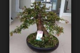Photo Bonsai Rukem Cantik
