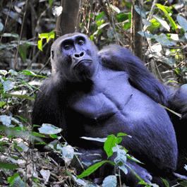 Gorilla of Nouabale Ndoki National Park Congo