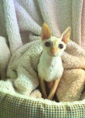 Bianca the Cream Point Cornish Rex