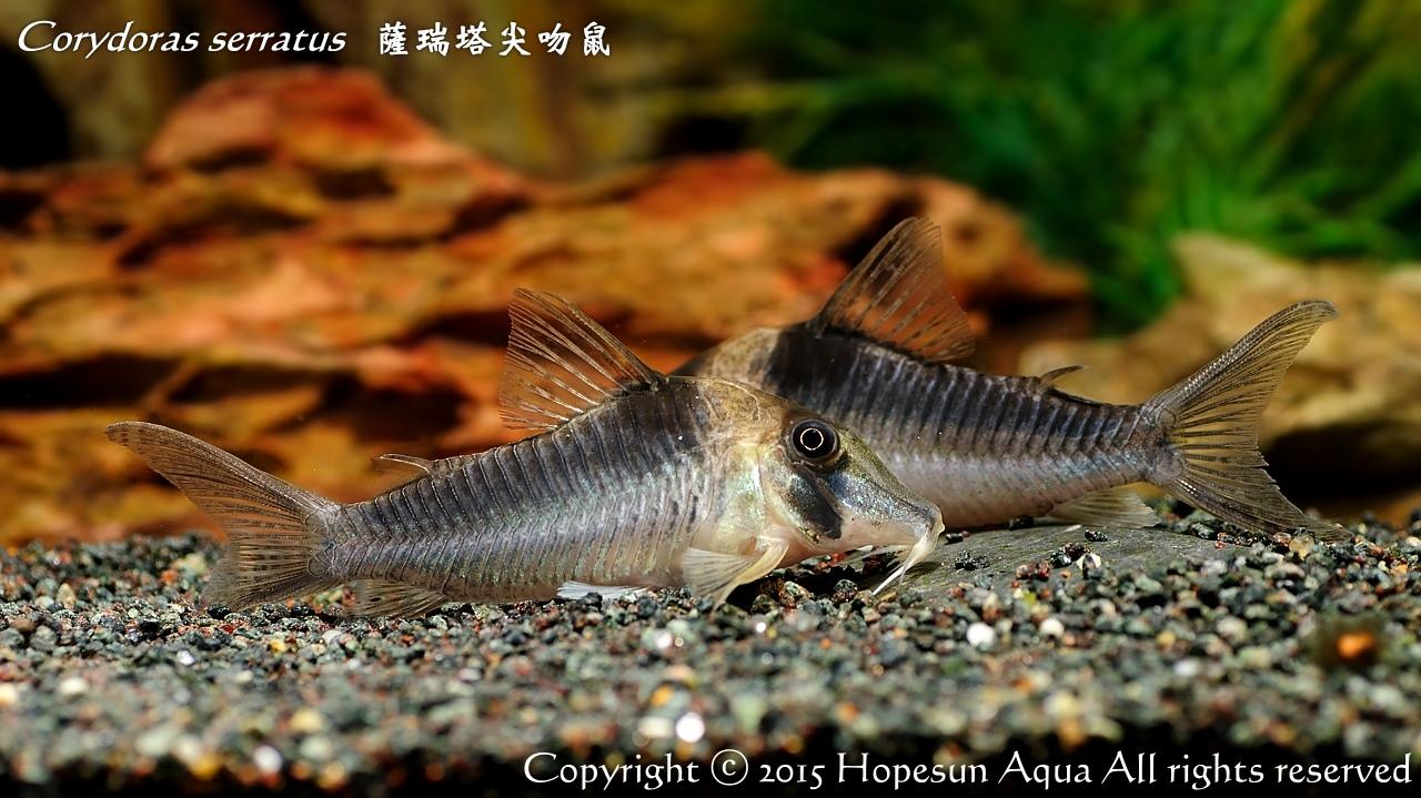 鴻順魚坊: Corydoras serratus 薩瑞塔尖嘴鼠