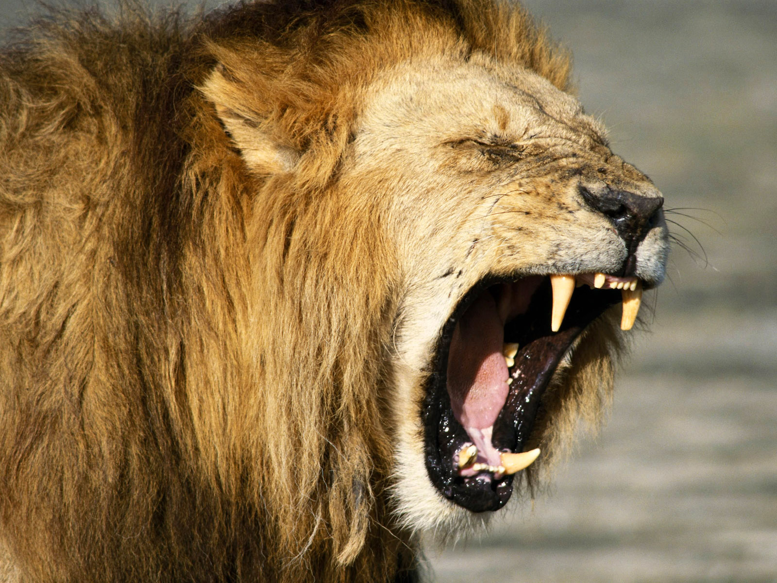 Koleksi Sketsa Gambar Kepala Singa Mengaung Terbaru