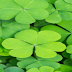 Clover meaning in hindi, Spanish, tamil, telugu, malayalam, urdu, kannada name, gujarati, in marathi, indian name, marathi, tamil, english, other names called as, translation