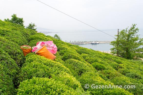 Karadeniz'in karşı yamaçalrındaki çay bahçeleri, Rize
