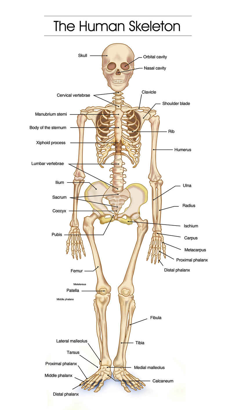 Human skeletal system diagram coordstudenti human skeletal system diagram ccuart Image collections