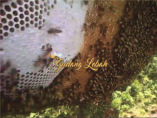 madu hutan bandung, jual madu hutan dibandung, beli madu hutan dibandung, madu hutan, toko madu hutan bandung, suplier madu hutan asli, suplier madu hutan, madu murni, apis dorsata, petani lebah apis dorsata