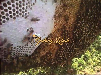 jual madu hutan sumatera, jual madu hutan sumatera, suplier madu hutan sumatera, petani madu hutan sumatera, panen madu hutan sumatera, harga madu hutan sumatera, madu hutan pramuka, penyedia madu hutan sumatera, harga madu hutan sumatera, pemanjat madu hutan sumatera