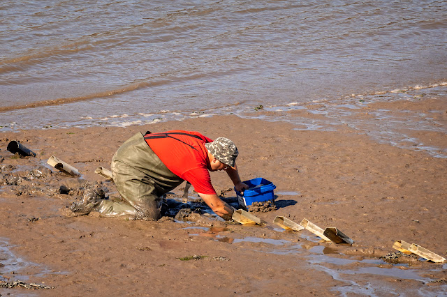 Photo of a man collecting peeler crabs in Maryport Basin