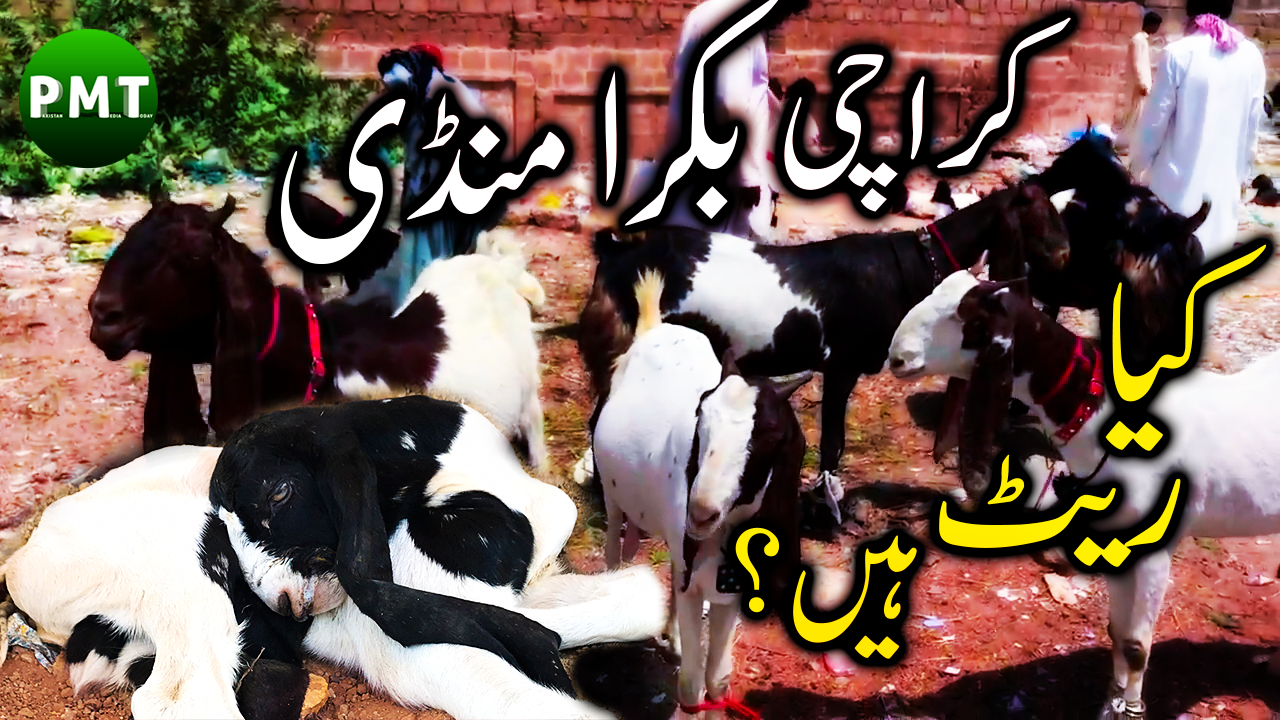Beautiful Goats for SALE in Bakra Mandi Karachi 2018 | Bakra Eid