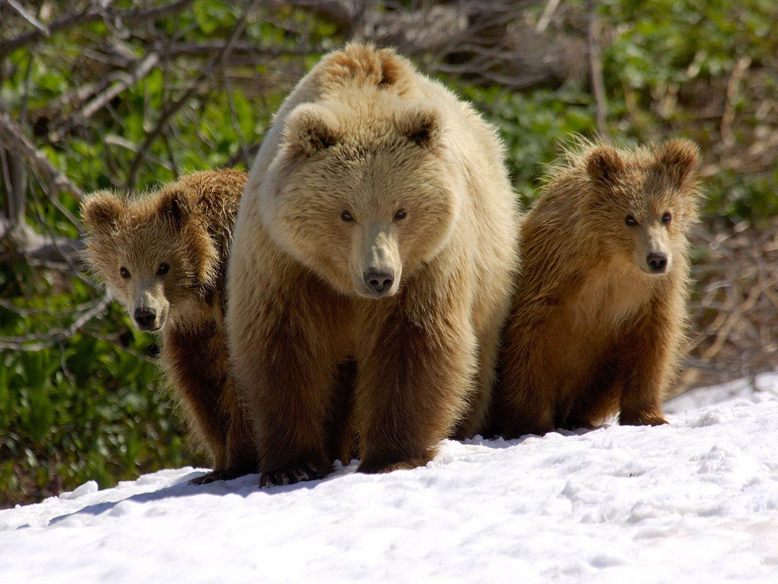 Brown Bear | The Wildlife
