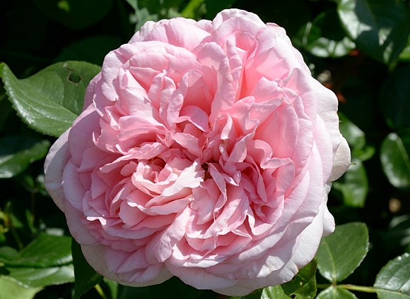 Voyage сорт розы Тантау фото купить саженцы Минск
