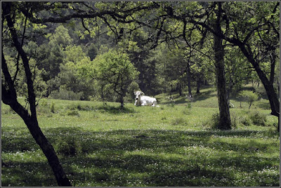 La vaca Margarita (Dehesa De Los Olmos)