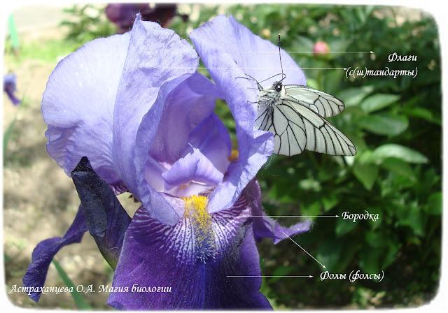 stroenie-cvetka-irisa