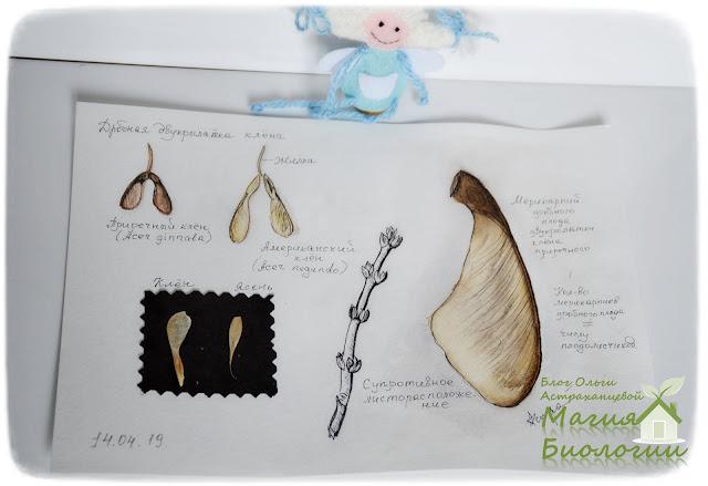 крылатки-акварельные-карандаши-ботаническая-иллюстрация