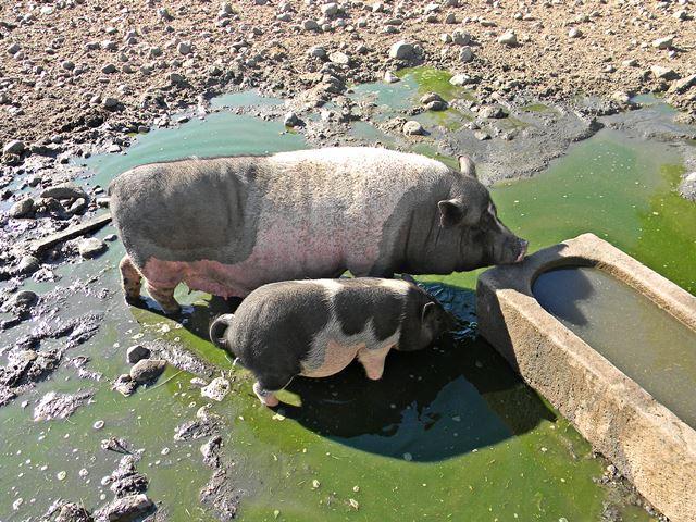 świnki wietnamskie w zoo w mostkach