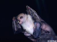 Spesies Baru Kelelawar Hidung Tabung dari Papua