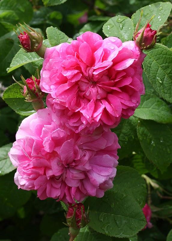 Fiori Rosa Nomi.Il Piccolo Giardino Di L La Famigerata Cabbage Rose Rosa X