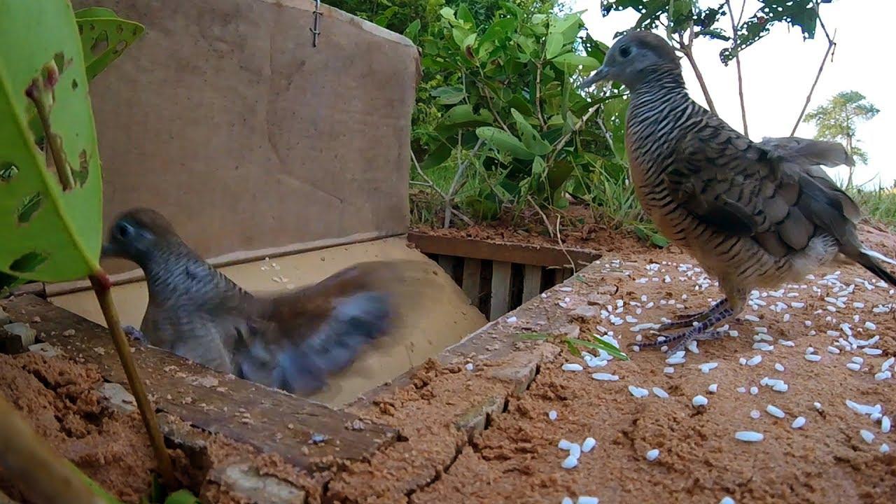 Toprağa gömülen tuzaklar kuşların daha kolay yakalanmasını sağlayacaktır.