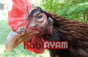 Mata Ayam Berair dan Berbusa