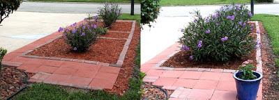 Mexican Petunia Garden : Front Yard 2012 vs 2013