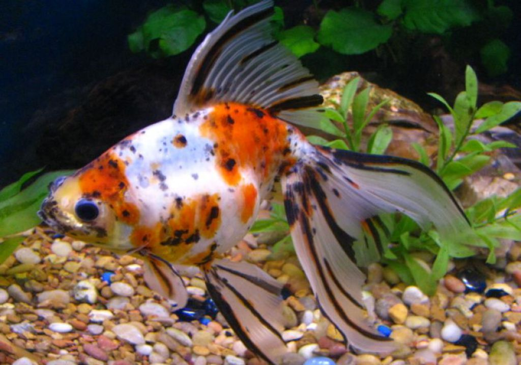 Fancy goldfish life of sea for What are cold water fish