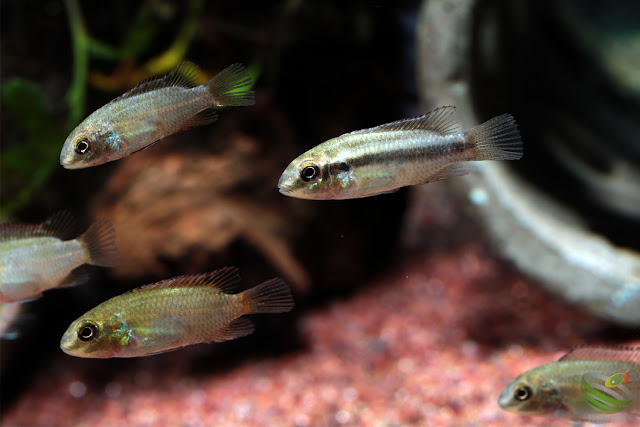 Pelvicachromis subocellatus(Moanda)