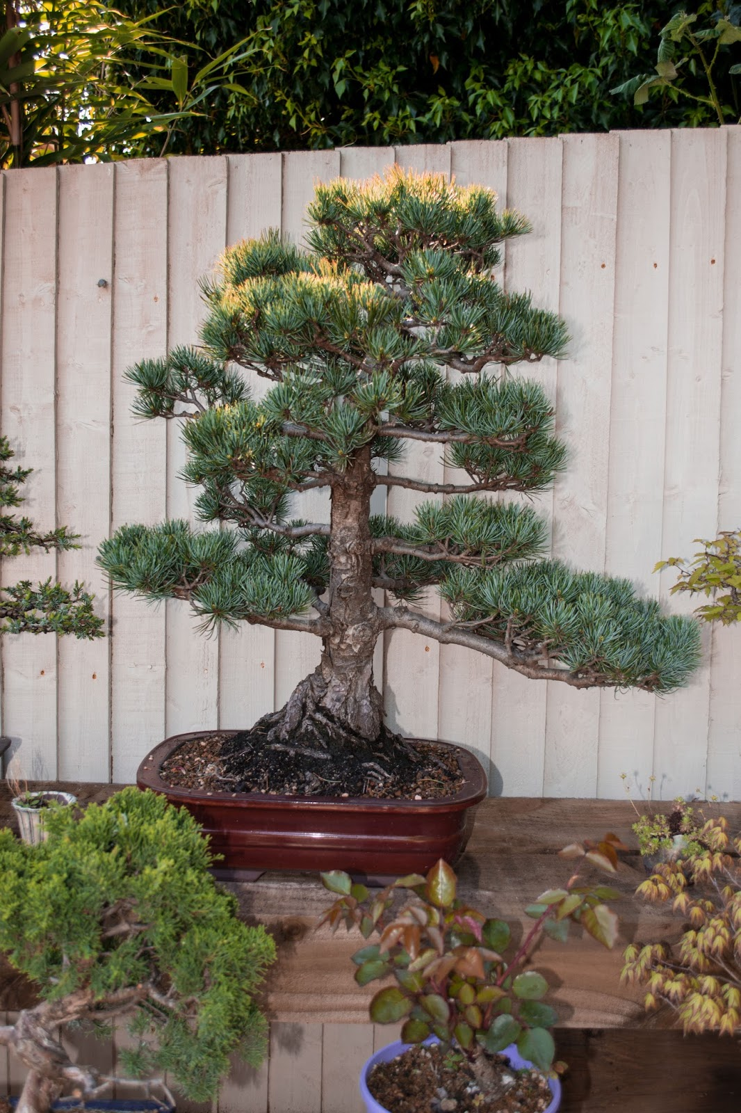 dj bonsai a lovely japanese white pine rh dj bonsai blogspot com